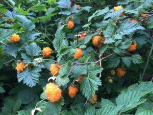 OrangeSalmonBerriesOnBush